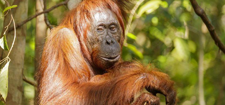 Los orangutanes se hacen amigos de nutrias en zoológico belga